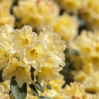 rhododendron11