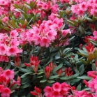 rhododendron9