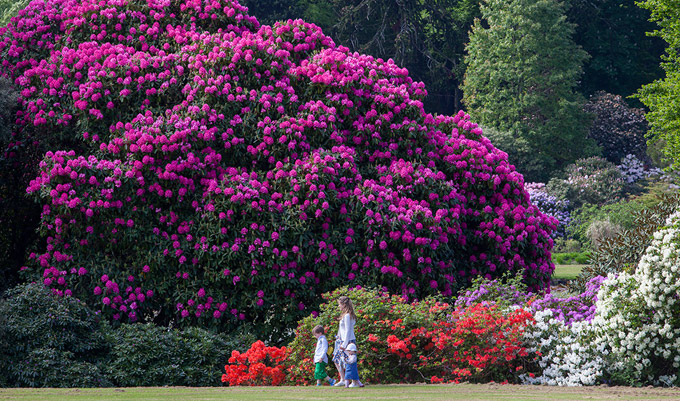 Scenic Collections  Castle Kennedy Gardens With Inspiring Rhododendrons In Full Bloom At Castle Kennedy Gardens With Agreeable Botanical Gardens Birmingham Uk Also Royal Worcester Royal Garden In Addition A Place In The Garden And Top Gardening Sites As Well As Kitchen Garden Additionally Garden Wooden Gate From Castlekennedygardenscom With   Inspiring Collections  Castle Kennedy Gardens With Agreeable Rhododendrons In Full Bloom At Castle Kennedy Gardens And Scenic Botanical Gardens Birmingham Uk Also Royal Worcester Royal Garden In Addition A Place In The Garden From Castlekennedygardenscom