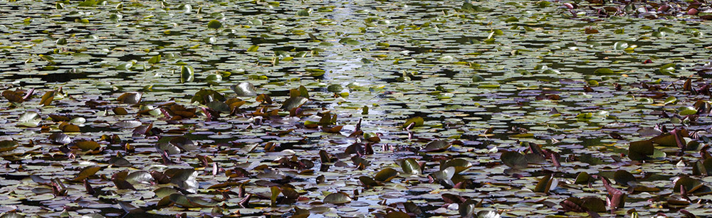 Water lily pads on the Round Pond