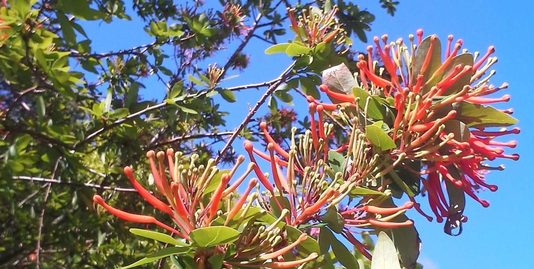 chilean bush 2