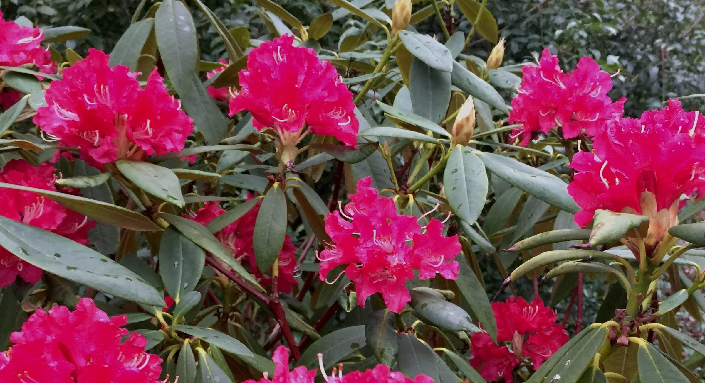 Rhododendron Britannia 2(1)